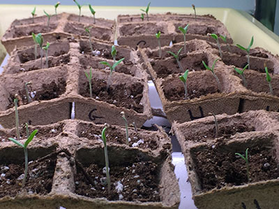 tomato plant seedlings used in a MS science experiment