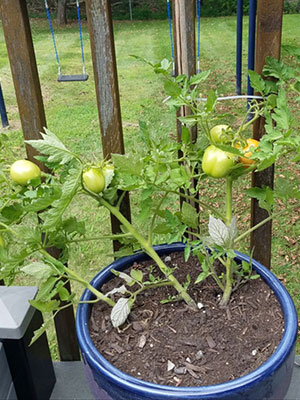 student tomato plants in a MS science experiment